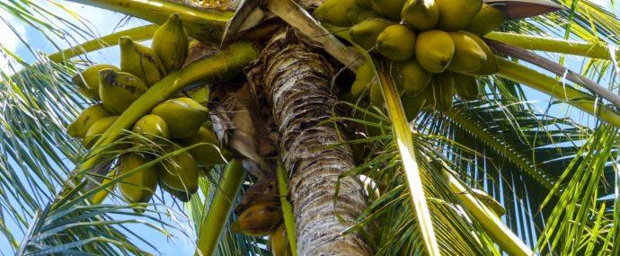 Jaký je původ slova palma? Proč se říká pamla?